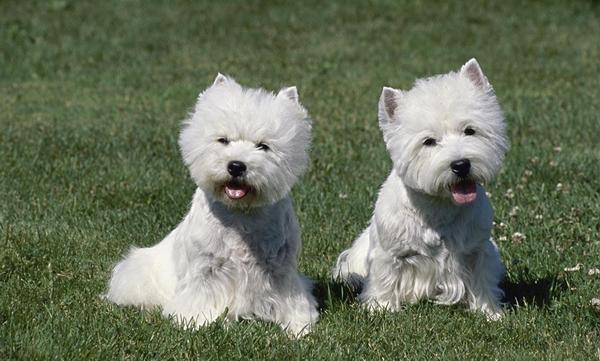 给狗狗注射疫苗前,要保证狗狗,精神状态要好